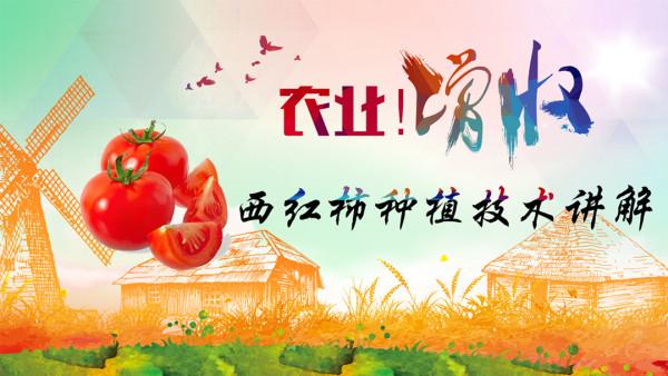 西红柿种植知识讲解