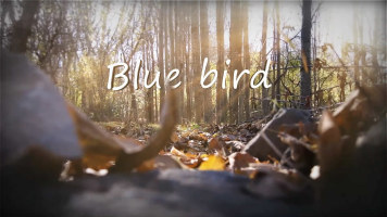 Blue bird  蓝鸟 伍伍慧 附谱【小小指弹吉他教程】